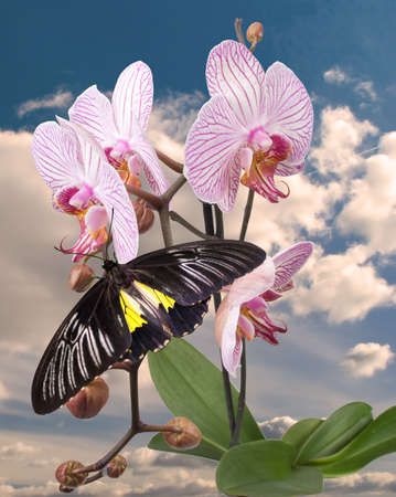 Black butterfly on the pink orchid photo