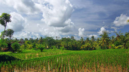 an agricultural district: Rice field near the town of Ubud on Bali