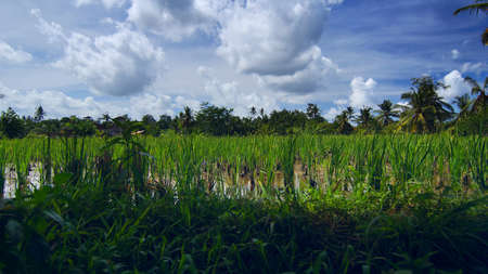 an agricultural district: Rice field near the town Ubud in Bali