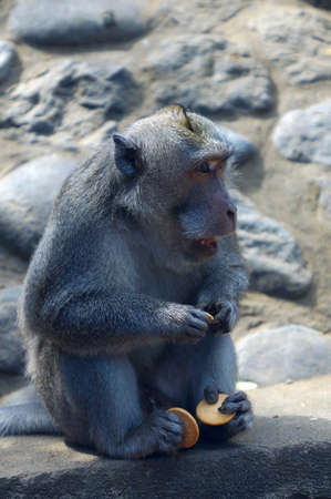 rapacity: Monkey with cookies in Bali, Indonesia. Stock Photo