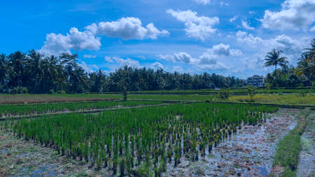 an agricultural district: House on the rice field at the town of Ubud in Bali in sunny summer day