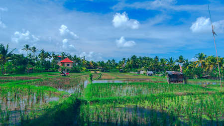 an agricultural district: Lonely house on sunny rice field at the town of Ubud in Bali in summer day