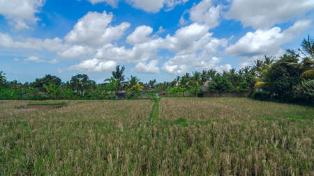 an agricultural district: Rice field at town Ubud on Bali in summer sunny day Stock Photo