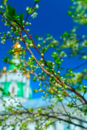 Branch of the apple tree blossoms against white church in summer sunny day Stock Photo
