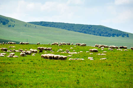 The cattle and flock of sheep on the grassland.