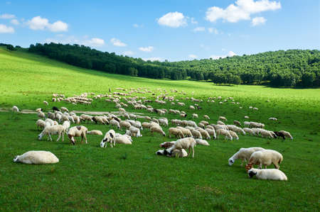 The flock of sheep on the summer meadows