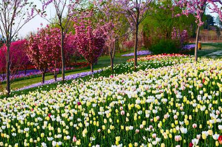 The tulip flower fields scenic