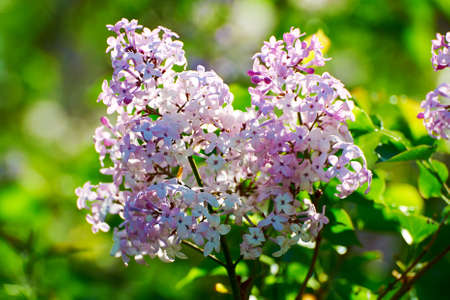 potpourri: The blooming lilacs Stock Photo