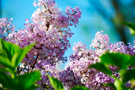 The blooming lilacs Stock Photo