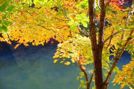 The autumn maple leaves by lakeside