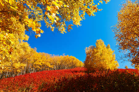 The golden color white birch scenic