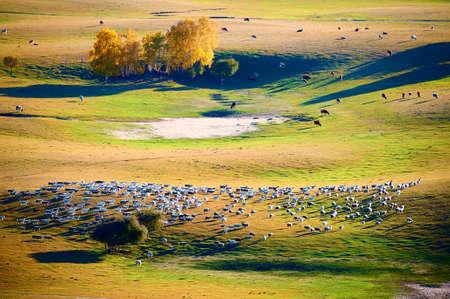 秋の草原で放牧。