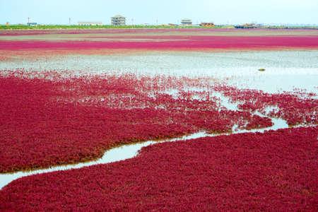 The Panjin city red beach landscape. Banco de Imagens