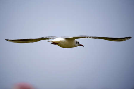 The seagull is flying in the sky. Stock Photo - 101347859