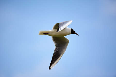 The seagull is flying in the sky. Stock Photo