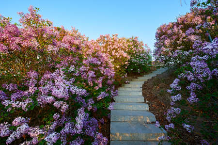 The lilacs are in full bloom. Stock Photo