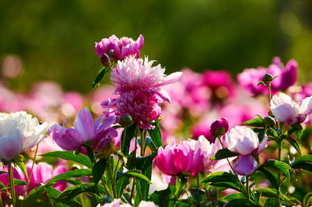 The chinese herbaceous peony flowers in blossom. Stock Photo