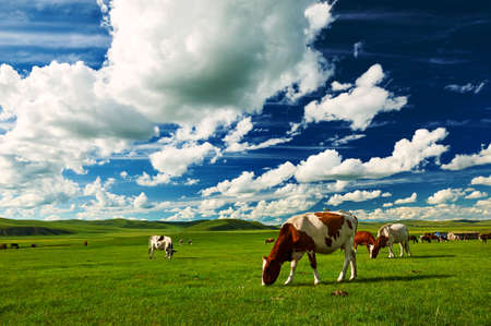 The cattle on the Hulunbuir summer grassland. Standard-Bild