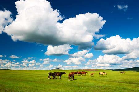 The herd horse on the Hulunbuir summer grassland.