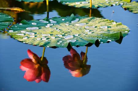 Dewdrops on lotus leaves