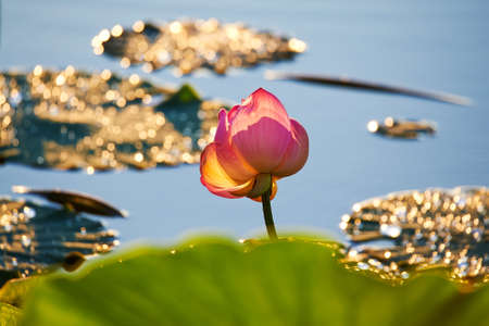The blooming lotus flowers in summer. Фото со стока - 114896600