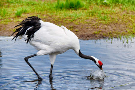 Red-crowned Crane in Zhalong Nature Reserve, Qiqihar City, Heilongjiang Province, China