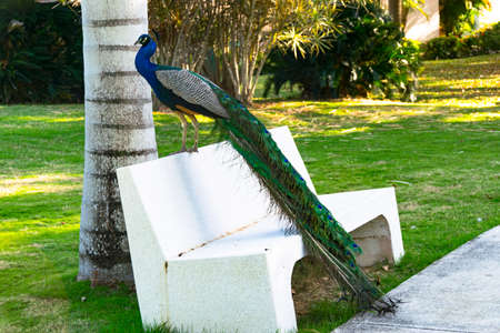 Male peacock sitting on a white bench with colorful tail hanging down