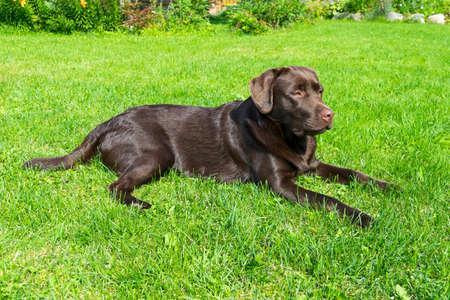 Bruine Chocolade Labrador Retriever. Hond op het groene gras. Hondenneus