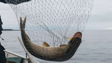 Close-up of big caught fish, hands of fisherman holding landing net with big pike fish. Concepts of successful fishing.