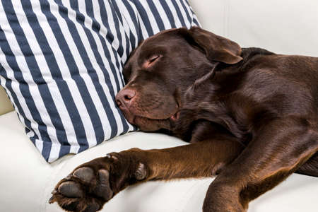 Brown chocolate labrador retriever dog is sleeping on sofa with pillow. Sleeping on the couch. Young cute adorable tired labrador retriever dog.