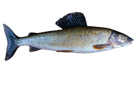 Arctic grayling fish isolated on white background. Freshwater fish. Amazing sports fish.