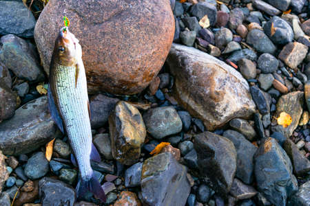Grayling caught fly fishing tackle. Angler releasing an arctic grayling. Grayling fish caught on the spinner by fisherman. Northern fishing. Successful fishing concept. Fishing tackle on river stones