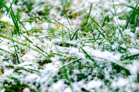 Green grass under the snow. Grass covered with snow. White snow and green grass background. Grass on a meadow covered with snow. Winter meadows with grass covered with frost