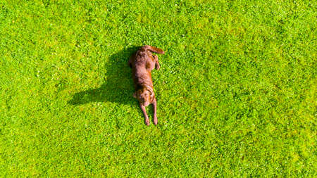 Aerial view a brown labrador is lying down a grass field. Cute Chocolate Labrador Retriever in green lawn summer park. Above view from a drone.
