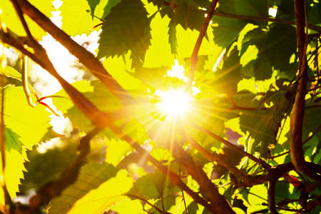 Green leaves with sun ray. Sun beams and green leaves. Fresh tree foliage. Natural summer background. Warm summer sun shine through air and leaves of the trees