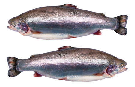 Rainbow trout fish isolated on white background. Fresh wild trout isolated on a white with clipping path. Fresh whole rainbow trout. Empty space for text. Copy space.