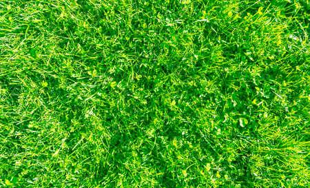 Fresh lawn grass. Grass golf courses green lawn pattern texture. Green grass texture background. Top view of grass in garden. Lawn background texture.