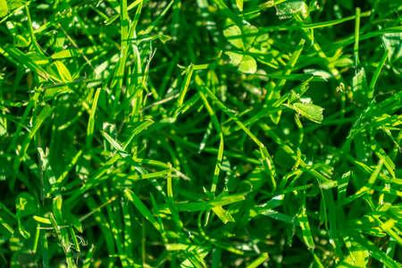 Fresh lawn grass close up. Macro shot grass golf courses green lawn pattern texture. Green grass texture background. Top view of grass in garden. Lawn background texture.