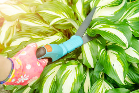 Seasonal pruning trees with pruning shears. Female gardener hand in protective gloves pruning tree leaves with pruning shears. Taking care of garden with garden scissors. Cutting tree branch