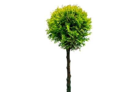 Thuja occidentalis smaragd Isolated on white background with clipping path. Green thuja isolated on white background. Evergreen coniferous tree. Cypress thuja