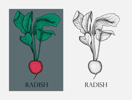 Radish. Radish organic food photo-realistic vector illustration of healthy vegetable. Illustration