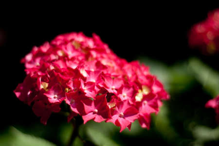 roze: Dieproze hortensia