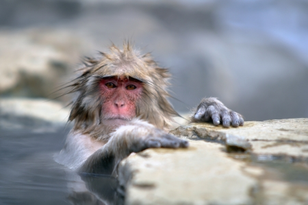Monkey in a natural onsen  hot spring , located in Snow Monkey, Nagono Japan  Stock Photo