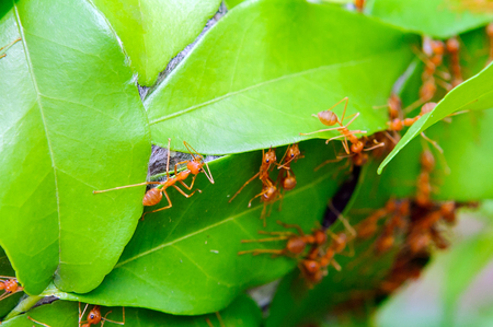 Power of red ants - Stock Image