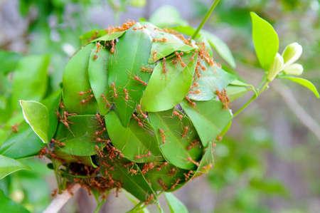 congruity: Potenza di formiche rosse - Stock Image