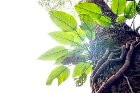 epipetric: Parasite plant growing the big tree