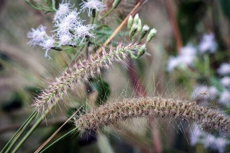 Dew drops on Grass flower photo