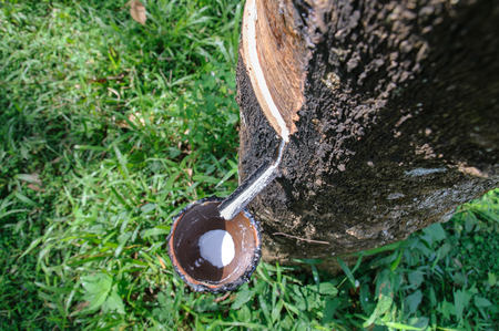 Milky latex extracted from rubber tree flows into a wooden bowl  photo