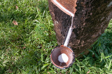 extracted: Milky latex extracted from rubber tree flows into a wooden bowl
