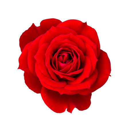 rose isolated: Red rose isolated